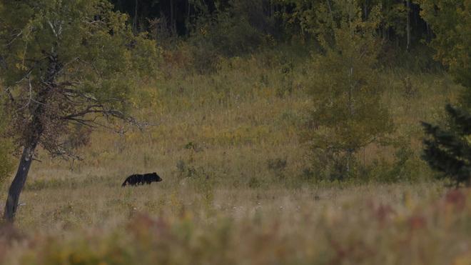 Black Bear Calgary, AB