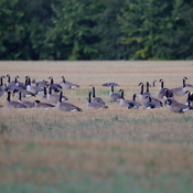 Staging of Canada geese