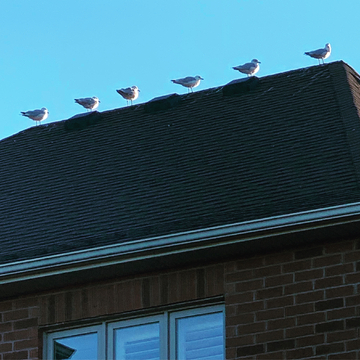 Seagulls on a roof
