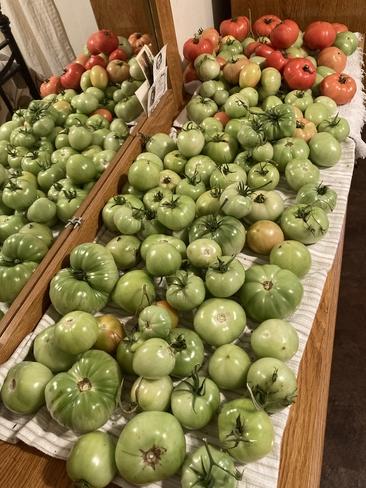 Wow récolte de tomates en abondance