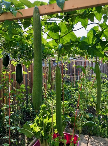 Luffa/Loofah in my vegetable garden Ontario