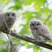 Curious baby owls