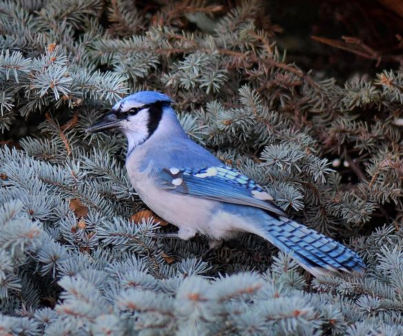 Blue Jay Edmonton, AB