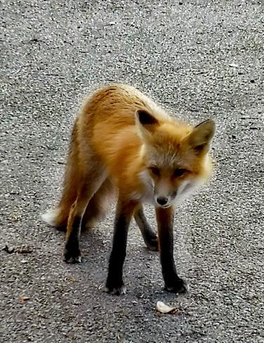 foxy Yellowknife, NT