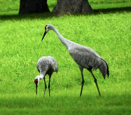 Sandhill Cranes Delaware, ON