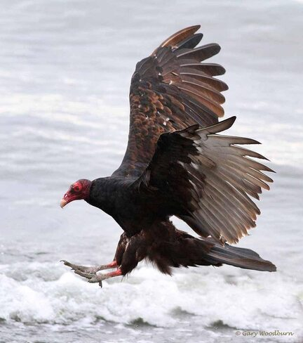 2021-09-20 - Turkey Vultures at Esquimalt Lagoon Esquimalt Lagoon, Colwood, BC