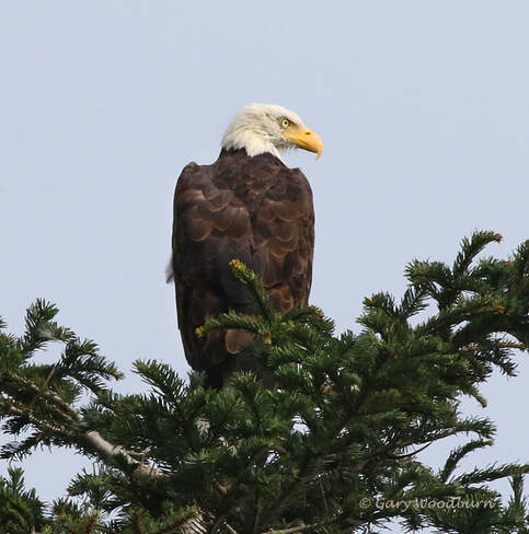 2021-09-21 - The Bald Eagles have returned to Esquimalt Lagoon Esquimalt Lagoon, Colwood, BC