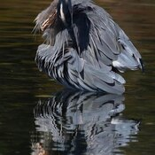 2021-09-19 - Great Blue Heron putting on a feather show in Esquimalt Lagoon