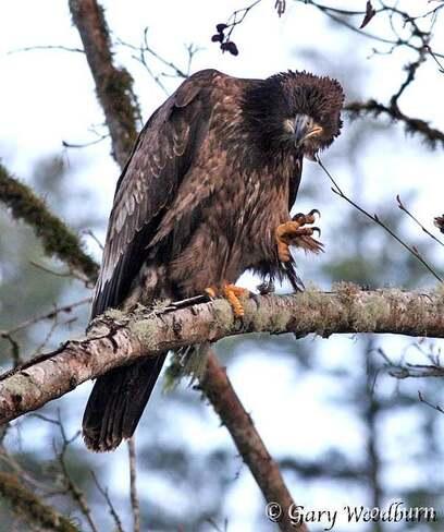 2021-09-19 - Immature Eagle in Goldstream Provincial Park Goldstream Provincial Park, Langford, BC