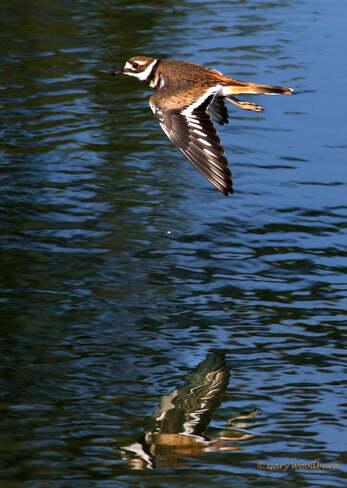 2021-09-16 - Killdeer, floating by, over Esquimalt Lagoon Esquimalt Lagoon, Colwood, BC