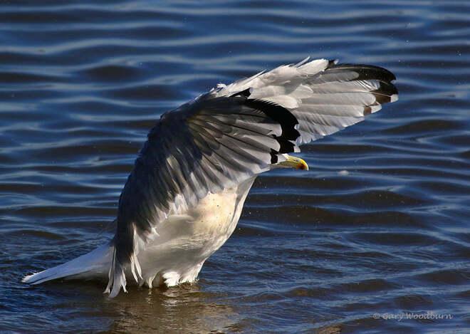 2021-09-15 - Herring Gull, with a big stretch, in Esquimalt Lagoon Esquimalt Lagoon, Colwood, BC
