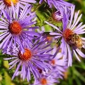 Honeybee in Wild Asters