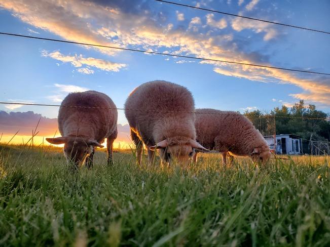 Sheep grazing at Sunset Kleefeld, MB
