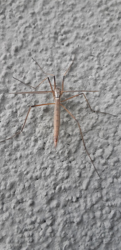 Rare Crane Fly on wall Brampton, ON