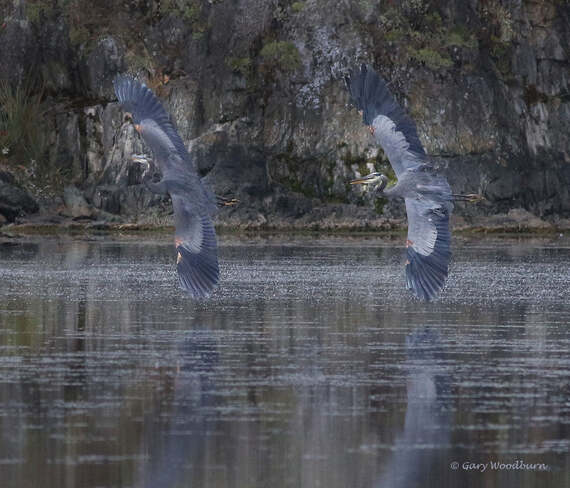 2021-09-21 - Great Blue Herons fighting for a fishing spot in Esquimalt Lagoon Esquimalt Lagoon, Colwood, BC