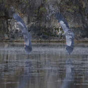 2021-09-21 - Great Blue Herons fighting for a fishing spot in Esquimalt Lagoon