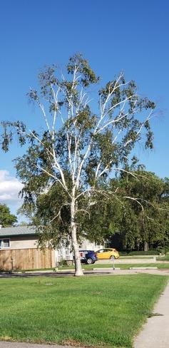 Beautiful Tree Biggar, SK