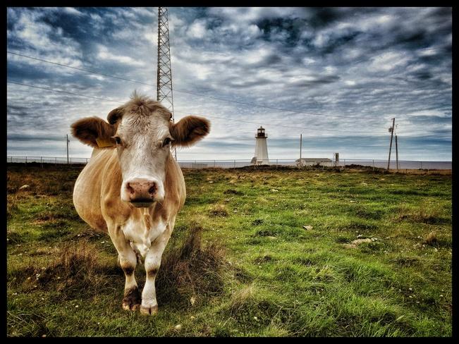 Chéticamp Island cow Chéticamp, NS