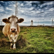 Chéticamp Island cow