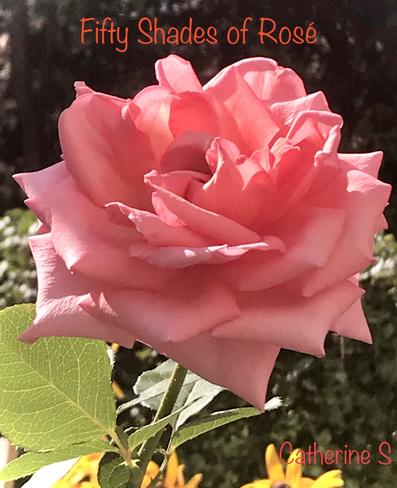Fifty Shades of Rosé Toronto, Ontario, CA