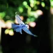 Chickadee Wings