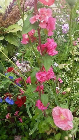 Dernière floraison du Jardin 2021 Matane-sur-Mer, QC