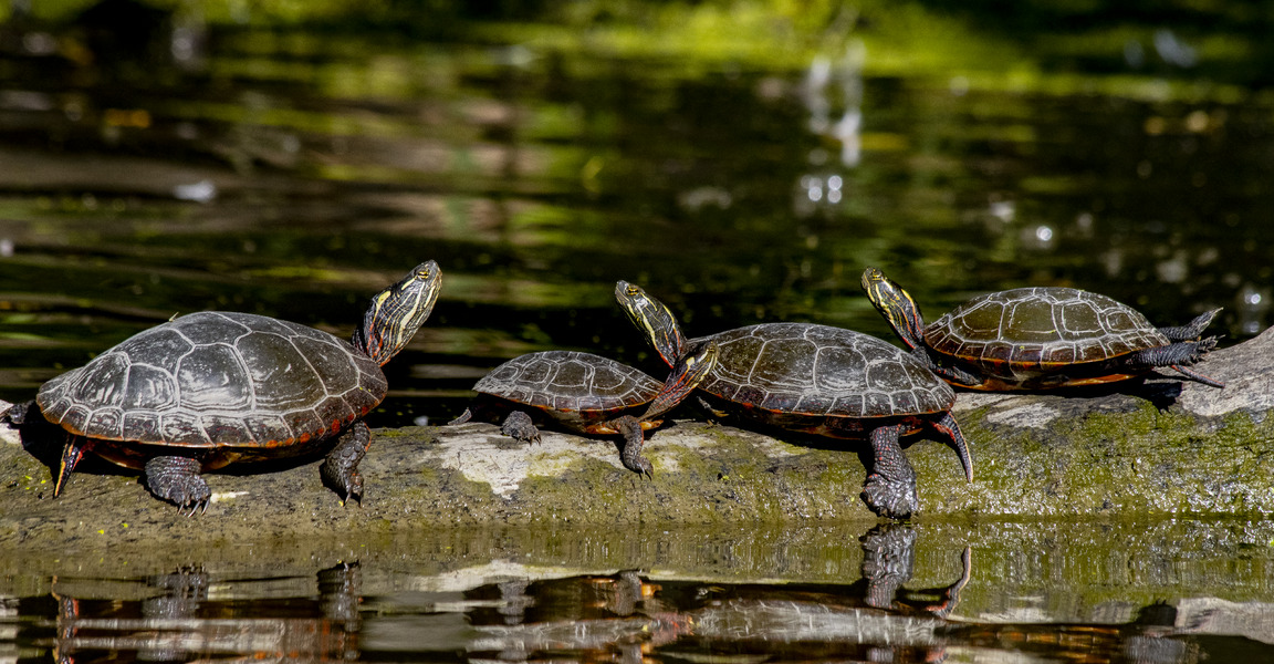Painted Turtles - family meeting