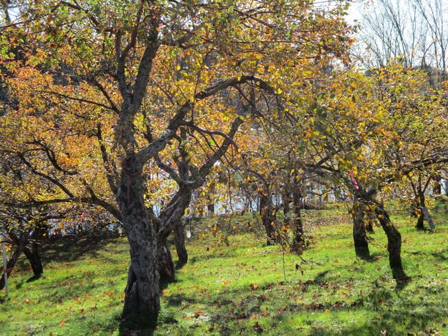 arbres d:or Saint-Damien-de-Buckland, QC