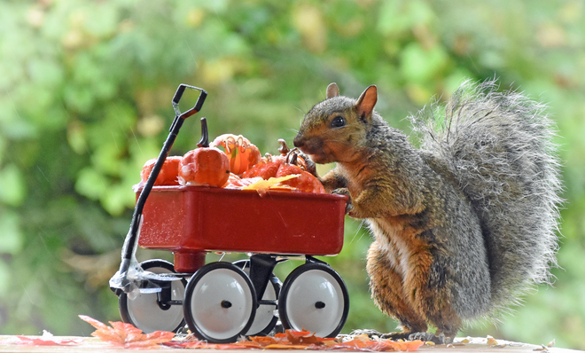 Happy Fall from grey squirrel. Cobourg, ON
