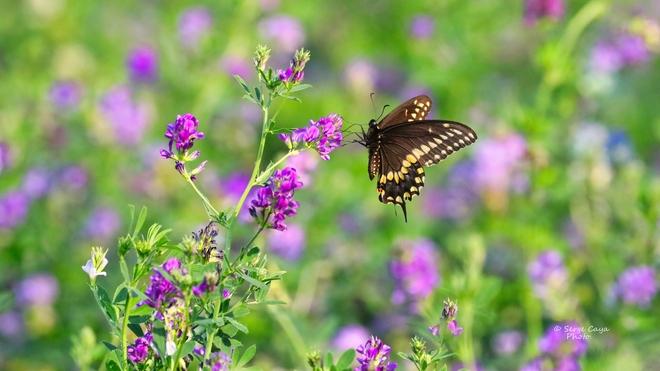 Minute papillon Saint-Hyacinthe, QC