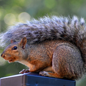 Squirrel wears a Fall sweater.