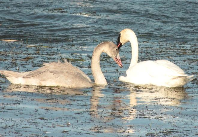 Swans in Crystal Lake, Grande Prairie Grande Prairie, AB