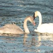 Swans in Crystal Lake, Grande Prairie