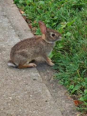 rabbit Mississauga, ON