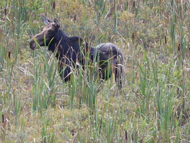 Cow Moose Algonquin, Ontario, CA