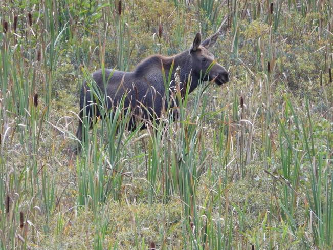 Moose calf Algonquin, Ontario, CA