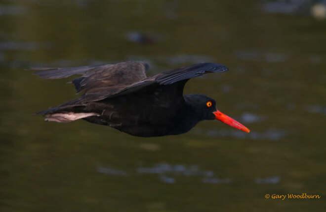 2021-09-22 - Black Ostercatcher floating by at Esquimalt Lagoon Esquimalt Lagoon, Colwood, BC