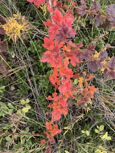 Fall Gooseberry Calgary, Alberta, CA