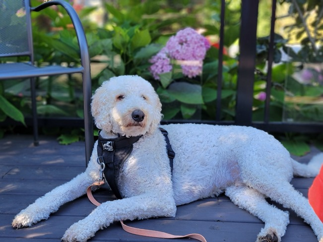Goldendoodle Pickering, ON