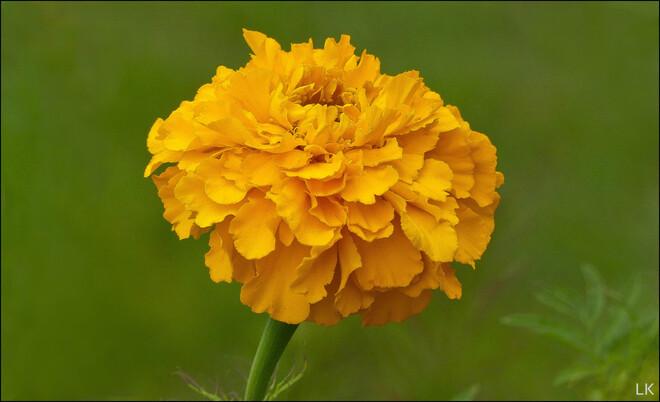 Marigold flower, Elliot Lake. Elliot Lake, ON