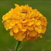Marigold flower, Elliot Lake.