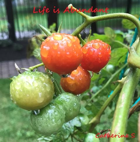 When Life gives you tomatoes….say Thank You<3 Toronto, Ontario, CA