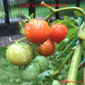 When Life gives you tomatoes….say Thank You<3