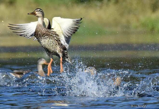 Splish & splash..... Saint-Jean-sur-Richelieu, QC