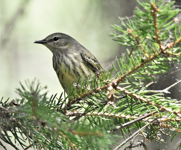 cape may warbler Holiday Beach Conservation Area, Amherstburg, ON