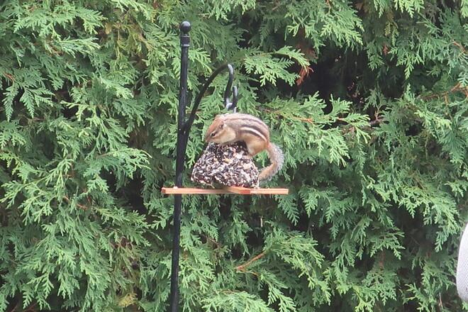 Chipmunk stealing birds' food Kanata, Ottawa, ON