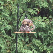 Chipmunk stealing birds' food