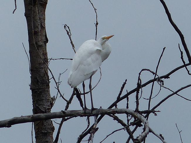Great Egret Grand Forks, BC