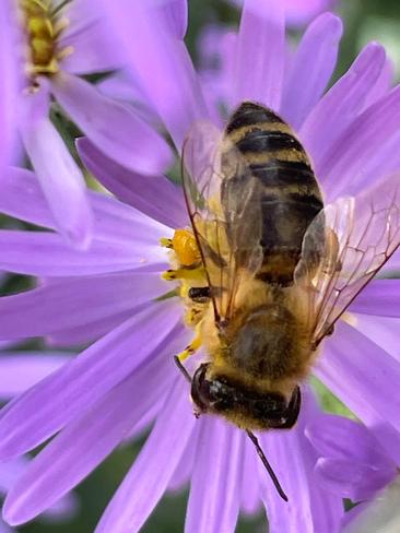Hard working bee Winnipeg, Manitoba, CA