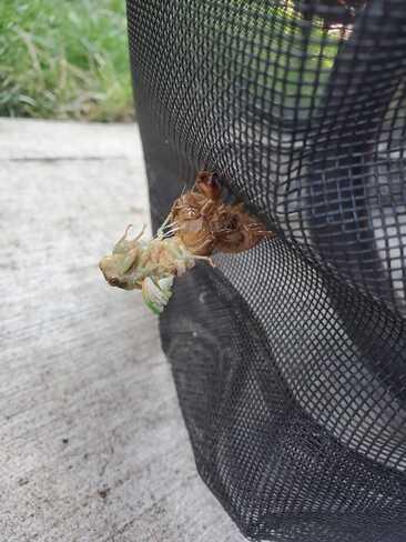 DogDay Cicada Hamilton, ON